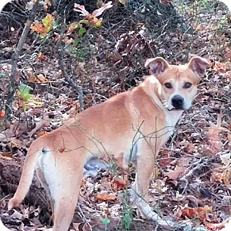 Boxer Mix Dog for adoption in Rutherfordton, North Carolina - Rocky