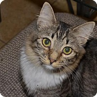 Domestic Mediumhair Cat for adoption in Glendale, Arizona - Rebecca