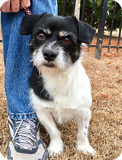 Jack Russell Terrier Mix Dog for adoption in Pulaski, Tennessee - Herbie