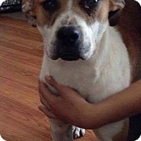 Boxer/Bulldog Mix Dog for adoption in Sugar Grove, Illinois - Rufus