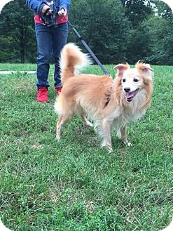 Pomeranian/Spitz (Unknown Type, Medium) Mix Dog for adoption in NYC, New York - COCO