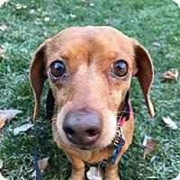 Dachshund Dog for adoption in Harmony, Glocester, Rhode Island - Muffie
