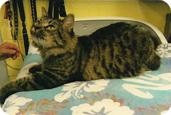 Maine Coon Cat for adoption in Chesapeake, Virginia - Bobbi