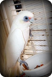 Weatherford Cockatoo Meet Bare Eyed Pet For Adoption
