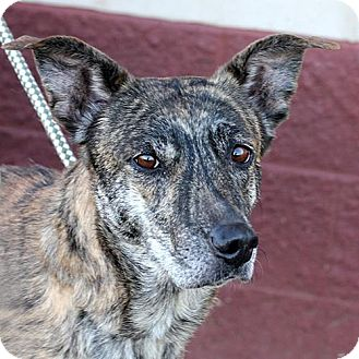 Greyhound Mix Dog for adoption in Springfield, Illinois - Star
