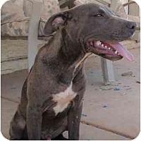 Adopt A Pet :: Azul - Gilbert, AZ