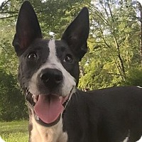 Adopt A Pet :: Moo Moo - Russellville, KY