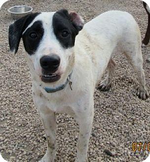 Spaniel (Unknown Type) Mix Dog for adoption in Von Ormy, Texas - Beamer