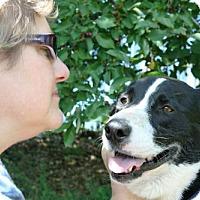 Adopt A Pet :: Callie - Williston, VT