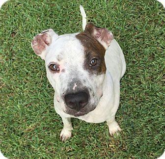 Pit Bull Terrier Mix Dog for adoption in Natchitoches, Louisiana - Cassie