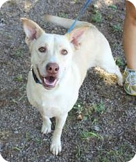 Labrador Retriever Mix Dog for adoption in Yukon, Oklahoma - Barley