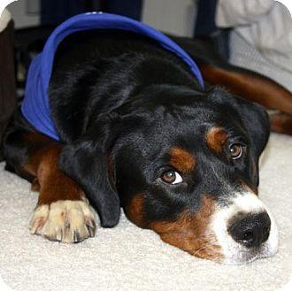 Greater Swiss Mountain Dog Dog for adoption in Washington, D.C. - Schultz aka Axl