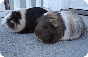 Guinea Pig for adoption in Fullerton, California - Cana & Lux