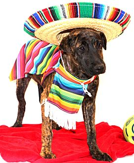Shepherd (Unknown Type)/Boxer Mix Dog for adoption in Glastonbury, Connecticut - Jose Quervo~meet me~
