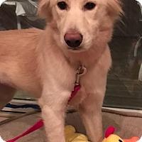 Adopt A Pet :: Sadie - Billerica, MA