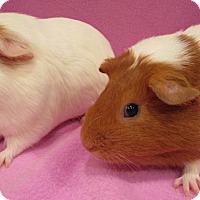 Guinea Pig for adoption in Steger, Illinois - Toph