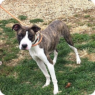Pit Bull Terrier/Greyhound Mix Dog for adoption in Colmar, Pennsylvania - Rob