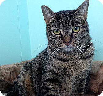 Domestic Shorthair Kitten for adoption in Fairfax, Virginia - Klondike