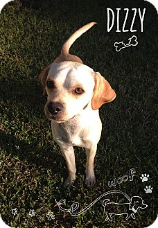 Chihuahua/Terrier (Unknown Type, Small) Mix Dog for adoption in Coppell, Texas - Dizzy