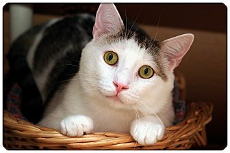Domestic Shorthair Cat for adoption in Sterling Heights, Michigan - Logan - ADOPTED!