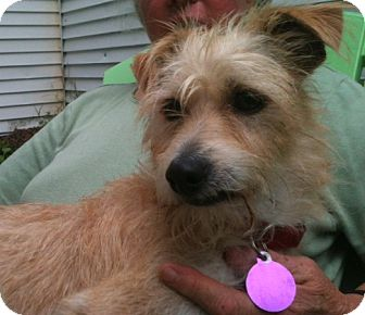 ... Dog | Hillsborough, NH | Fox Terrier (Wirehaired)/Cairn Terrier Mix