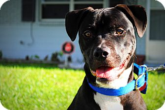 American Bulldog/Labrador Retriever Mix Dog for adoption in Orlando, Florida - Hitch