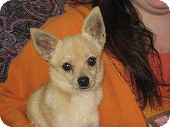 Pomeranian/Chihuahua Mix Dog for adoption in Greenville, Rhode Island - Bruce the little gentleman