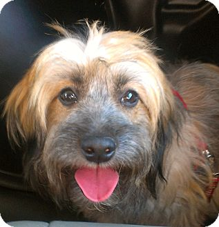 Wheaten Terrier/Yorkie, Yorkshire Terrier Mix Dog for adoption in Madison, New Jersey - Ginger