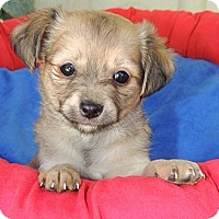 Adopt A Pet :: Litter of Tiny Chi/Pom Mixes - La Habra Heights, CA