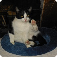 Domestic Shorthair Cat for adoption in Whiting, Indiana - Oreo