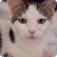 Adopt A Pet :: Samba - Merrifield, VA