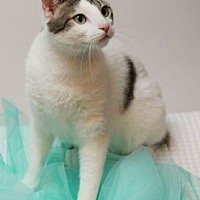 Domestic Shorthair Cat for adoption in Richardson, Texas - Emerson