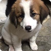 Adopt A Pet :: Simone - Albany, NY