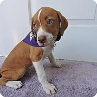Adopt A Pet :: Bagel-Pending! - Detroit, MI
