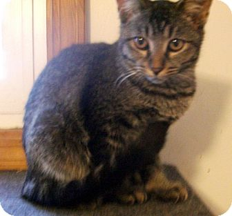 Domestic Shorthair Kitten for adoption in Lombard, Illinois - Squirt