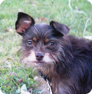 Yorkie, Yorkshire Terrier/Chihuahua Mix Dog for adoption in Great Falls, Virginia - Marley