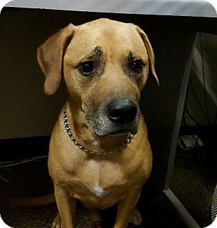 Boxer/Labrador Retriever Mix Dog for adoption in Bridgewater, New Jersey - Jack