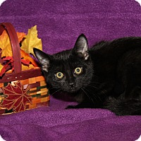 Adopt A Pet :: Lexus (Neutered) - Marietta, OH