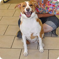 Labrador Retriever Mix Dog for adoption in Sunrise Beach, Missouri - Buttercup