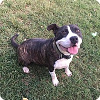 American Staffordshire Terrier Dog for adoption in Erwin, Tennessee - Daisy