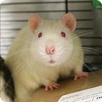 Rat for adoption in Concord, New Hampshire - Frito