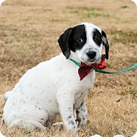Pointer Mix Puppy for adoption in Scarborough, Maine - Cleveland