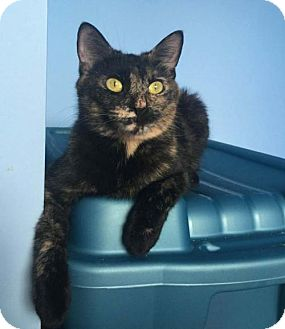 Domestic Shorthair Cat for adoption in Richmond Hill, Ontario - Tammy