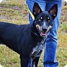 Adopt A Pet :: Silas