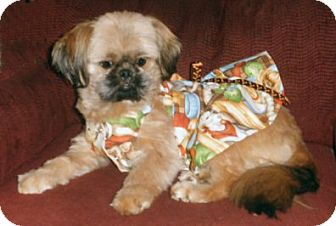 Shih Tzu Dog for adoption in Mooy, Alabama - Gilda