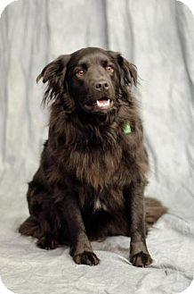 Spaniel (Unknown Type) Mix Dog for adoption in Saskatoon, Saskatchewan - Abby