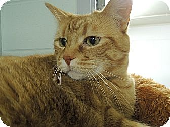 Domestic Shorthair Cat for adoption in House Springs, Missouri - Peaches