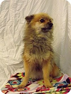 Pomeranian Dog for adoption in Fort Riley, Kansas - Foxy