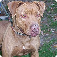 Adopt A Pet :: Bruno - Middletown, NY