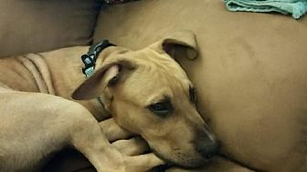 Pit Bull Terrier/Black Mouth Cur Mix Dog for adoption in Ponca City, Oklahoma - Gus